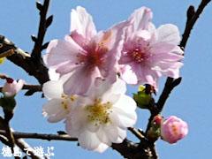 上勝町 十月桜