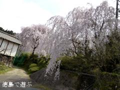 徳島県美馬郡つるぎ町貞光 吉良 しだれ桜 2014