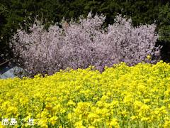 徳島県名西郡神山町 江田 菜の花 2015