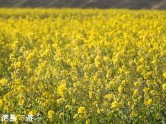 徳島県 吉野川第十堰 吉野川堤防沿い 菜の花 2016