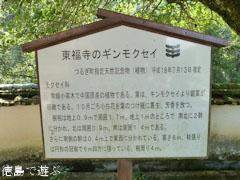 東福寺 ギンモクセイ