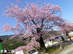 前松堂 夢桜 2013