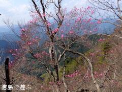 あけぼの峠 アケボノツツジ 咲き始め 2013