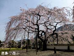 明王寺 しだれ桜 2013