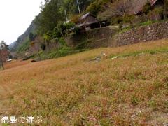 花々の里 よこせ 赤蕎麦 2013