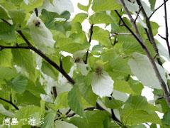 那賀町 ハンカチノキ ハンカチの木