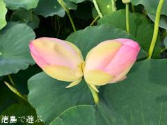 徳島県鳴門市大麻町 れんこん ハスの花 双頭蓮 2017