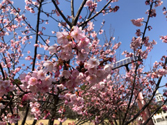徳島県鳴門市大麻町 道の駅 第九の里 周辺 蜂須賀桜 2018