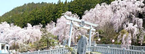 川井峠 しだれ桜