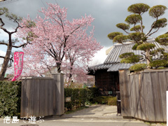 原田家住宅 蜂須賀桜 2014