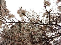 スピリチュアルな桜の意味とは