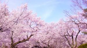 桜のスピリチュアルメッセージ!!