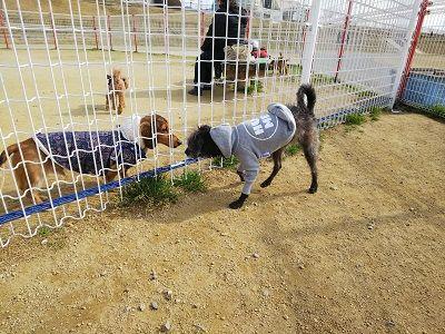 italiangrayhound8