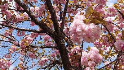 花園中央公園サトザクラ (6)