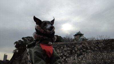 イタグレ大阪城散歩 (3)