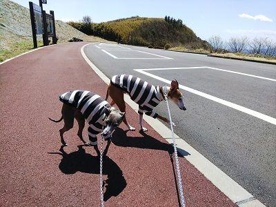 箱根スカイライン_イタグレ15