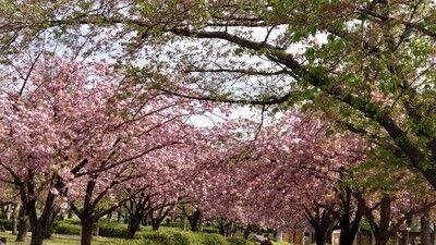 花園中央公園サトザクラ (8)