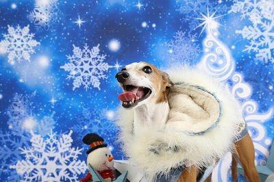 イタグレクリスマス4