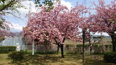 花園中央公園サトザクラ (9)