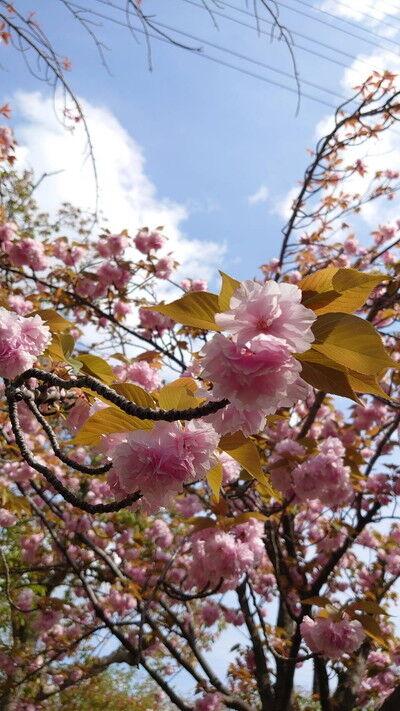 花園中央公園サトザクラ (7)