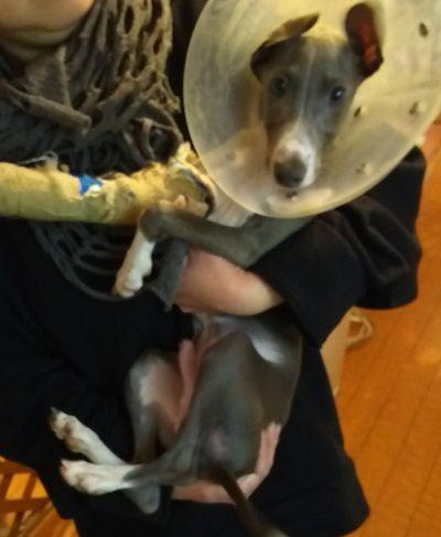 保護犬カフェイタグレ里親募集オクラ1