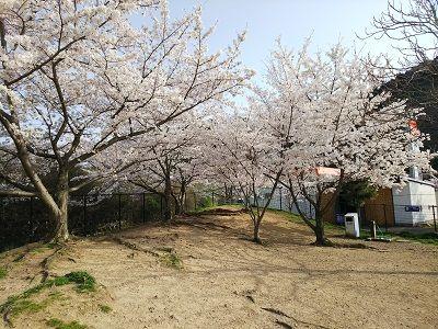 岸和田SAドッグラン桜満開4