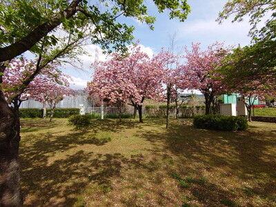 花園中央公園サトザクラ (1)