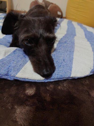 イタリアングレーハウンドミックス犬