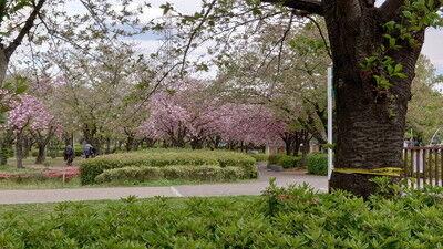 花園中央公園サトザクラ (4)