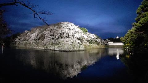 彦根城夜桜 (1)