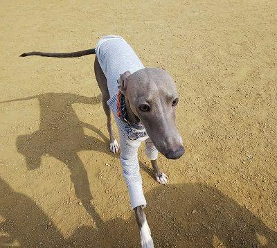italiangrayhound2