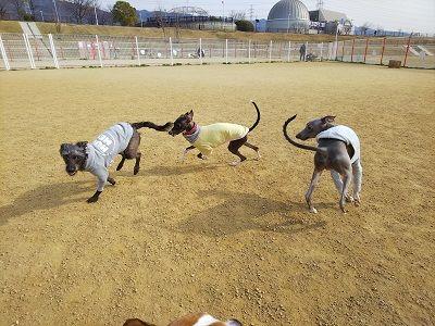 italiangrayhound7