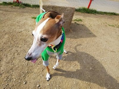 italiangrayhound1