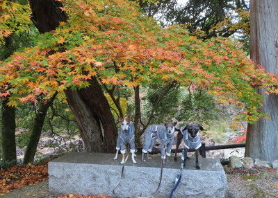 犬上神社イタグレ (9)