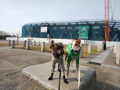 italiangrayhound9