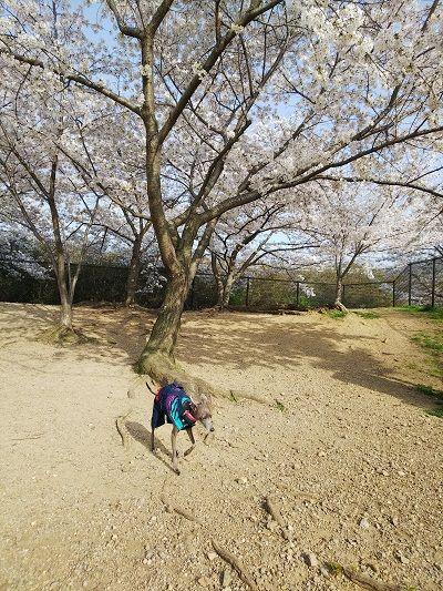 岸和田SAドッグラン桜満開3
