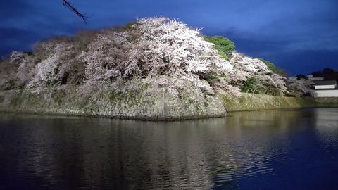 彦根城夜桜 (3)