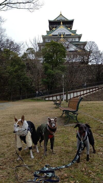イタグレ大阪城散歩 (5)