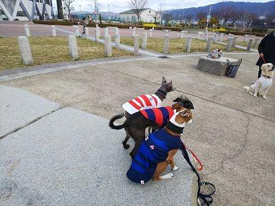 ラグビー日本代表公式ジャージ犬用4