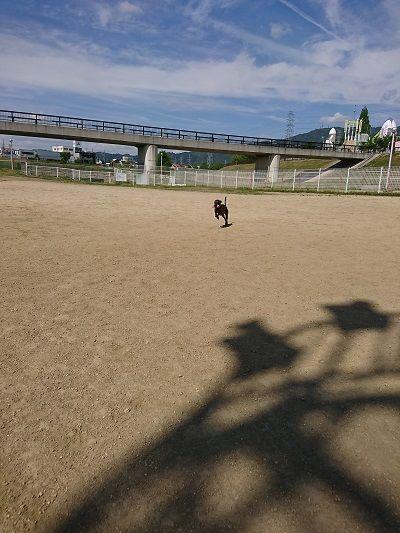 イタグレ花園ドッグラン6