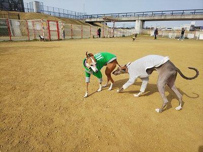 italiangrayhound5