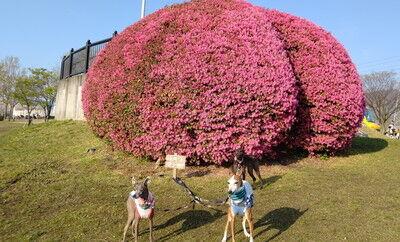 花園中央公園イタグレ10