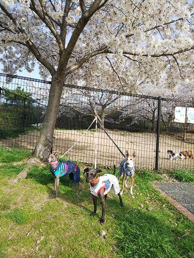 岸和田SAドッグラン桜満開2