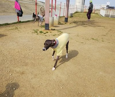 italiangrayhound3