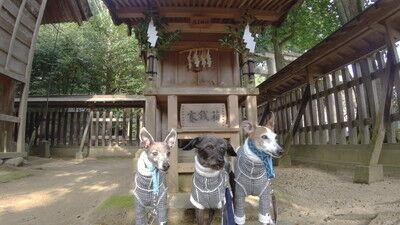 犬上神社イタグレ (1)