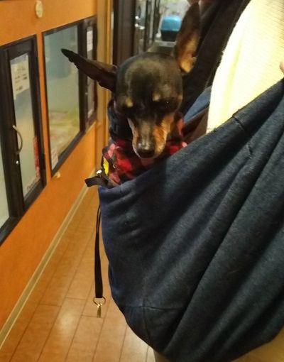 保護犬カフェミニピン