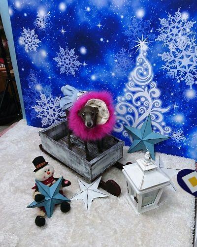 イタグレクリスマス1