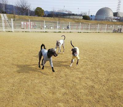italiangrayhound6