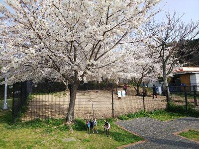 岸和田SAドッグラン桜満開1
