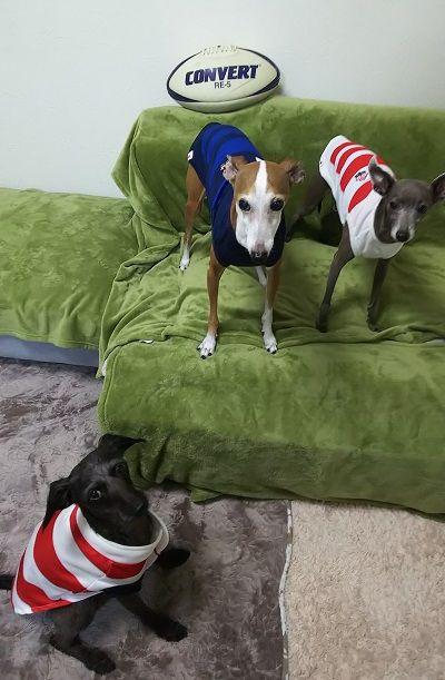 ラグビー日本代表犬用公式ユニホーム